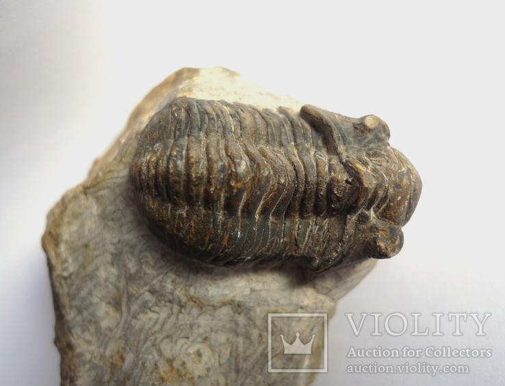 Трилобіт Gerastos на породі девонського періоду, фото №5