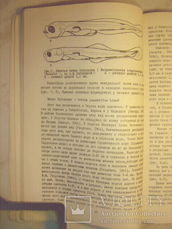Размножение и развитие азово-черноморских бычков., фото №5