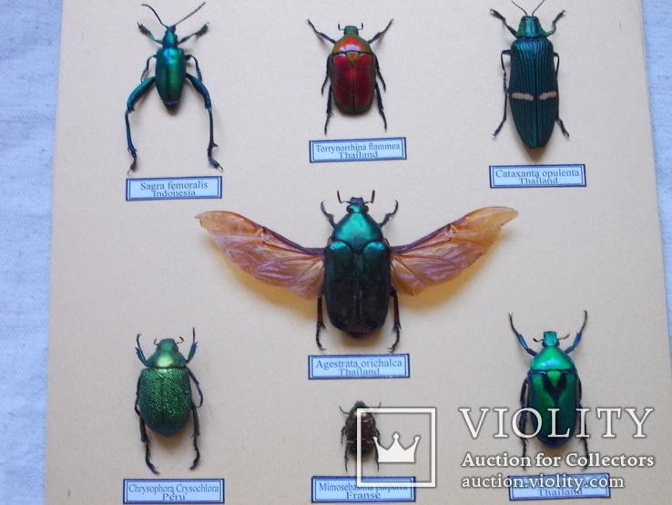 Тропические жуки в рамке №1, фото №5