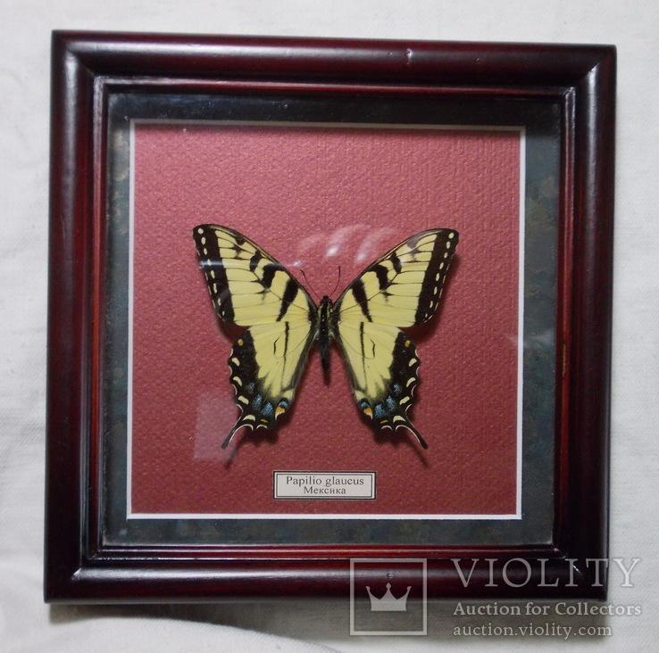 Бабочка в рамке Papilio glaucus Мексика