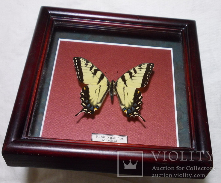 Бабочка в рамке Papilio glaucus Мексика, фото №5