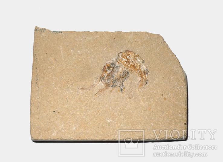 Скам'яніла креветка крейдового періоду на плитці, фото №2