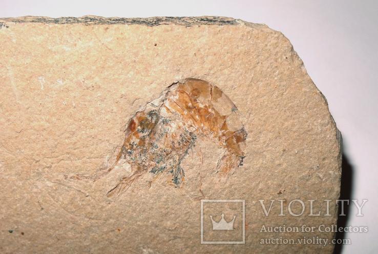 Скам'яніла креветка крейдового періоду на плитці, фото №3