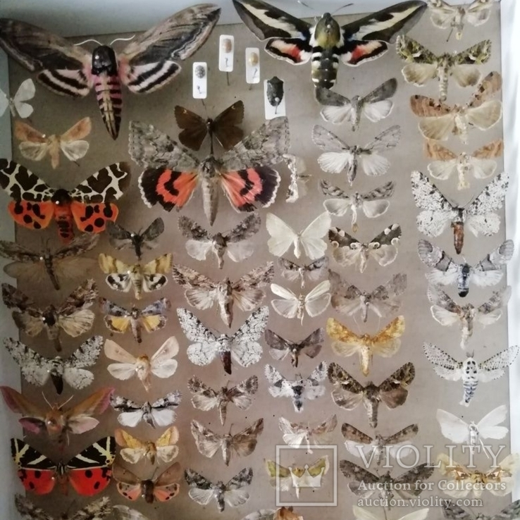 Энтомологическая коллекция №3, фото №2