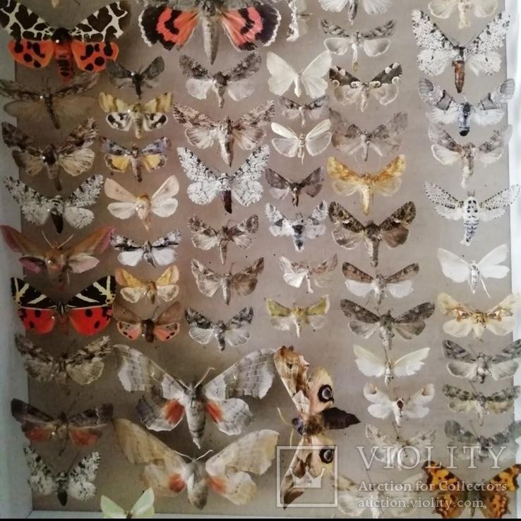 Энтомологическая коллекция №3, фото №3