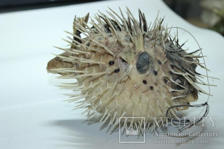 Чучело ядовитой рыбы Фугу , японский деликатес, фото №3
