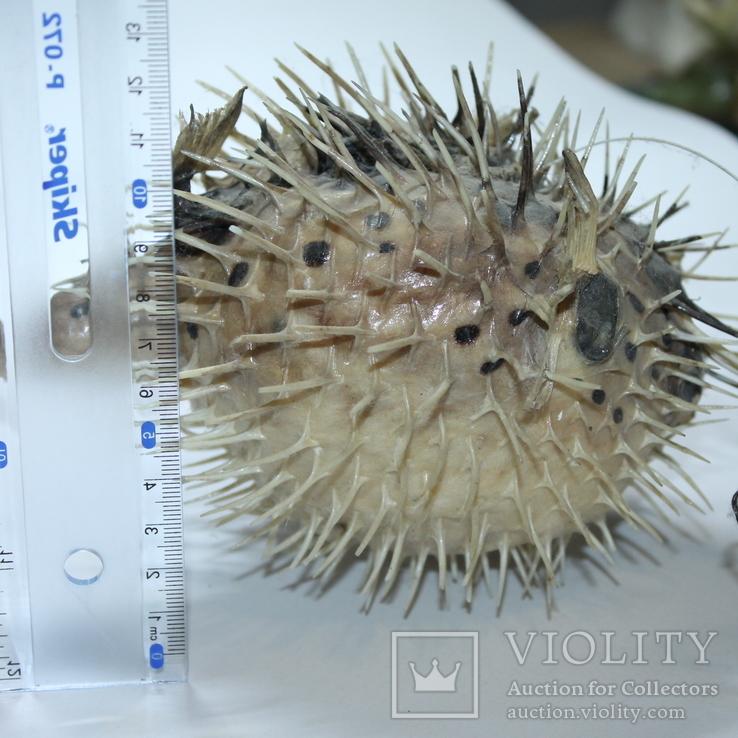 Чучело ядовитой рыбы Фугу , японский деликатес, фото №5