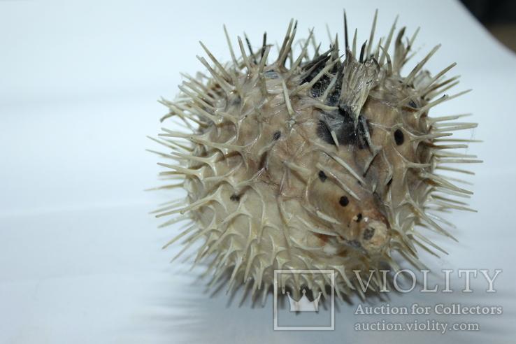 Чучело ядовитой рыбы Фугу , японский деликатес, фото №6