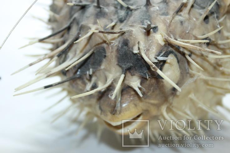 Чучело ядовитой рыбы Фугу , японский деликатес, фото №8