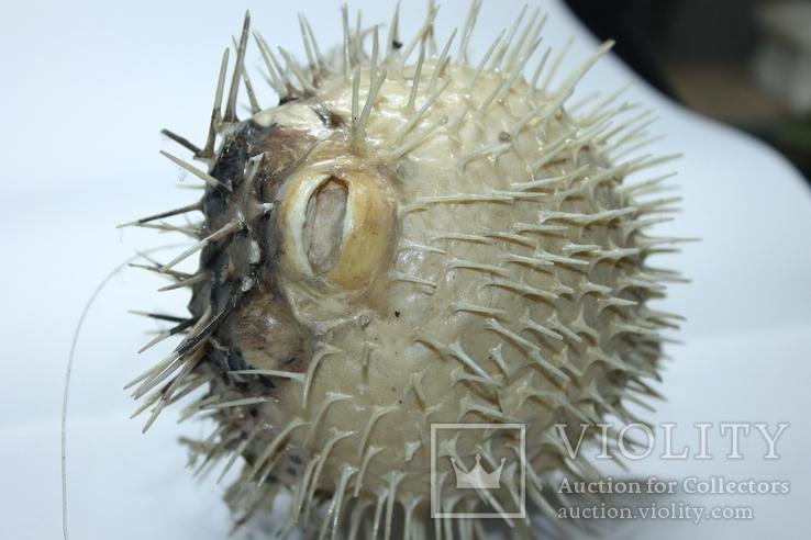Чучело ядовитой рыбы Фугу , японский деликатес, фото №9
