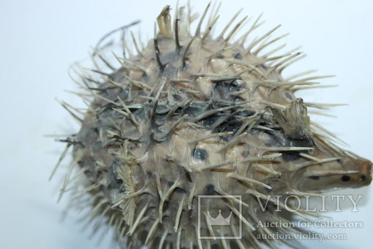 Чучело ядовитой рыбы Фугу , японский деликатес, фото №11