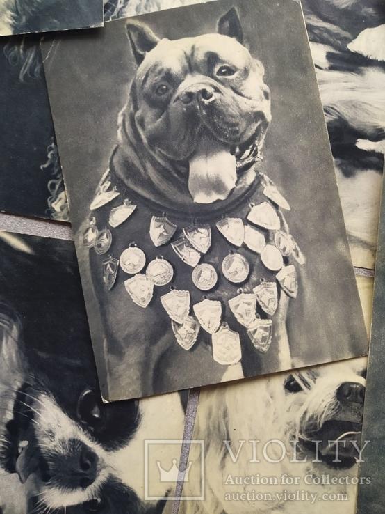Открытки. Собаки чемпионы, фото №3