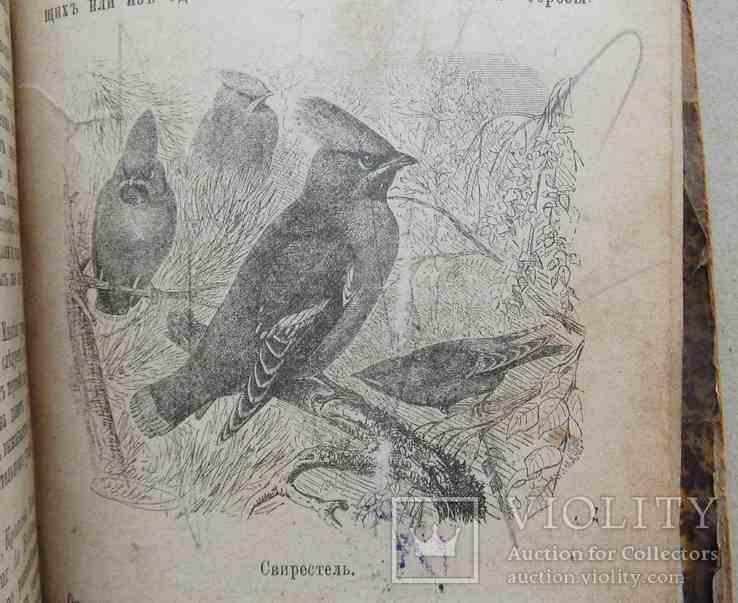 Певчие птицы. Святский И. 1896, фото №7