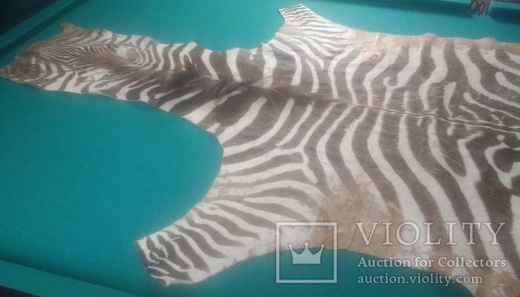 Шкура зебри Південна Африка, фото №6