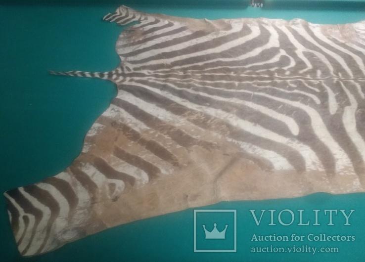 Шкура зебри Південна Африка, фото №7