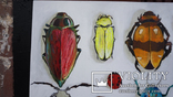 Энтомологическая коллекция насекомых №2, фото №4