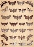 Старинная цветная литография.Gross-Schmetterlinge Europas. 1894 год. (28,6х21,1см.). (3).., фото №2