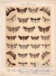Старинная цветная литография.Gross-Schmetterlinge Europas. 1894 год. (28,6х21,1см.). (3).., фото №5