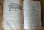 Порода, генетика и селекция свиней, 1934 г., фото №5