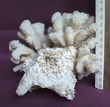 Кораллы из Индийского океана вес 903 грамма., фото №7