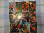 Розы, Молдавия, 12 откр., фото №2