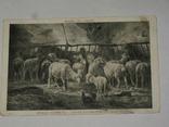 Открытка  до 1917 Овцы   №89, фото №3