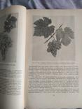 Виноградство, фото №5