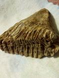 Зуб мамонта 520г., фото №3