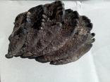 Зуби мамонта 580 грам., фото №7