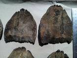 Зуби мамонта 580 грам., фото №12