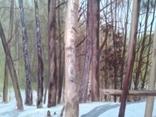 В весеннем лесу, х., м., 50х70 см. Алек Гросс, фото №4
