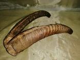 Рога 2 пары, фото №6