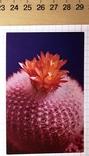 Календарик цветущий кактус, Болгария, 1987 / квітка, фото №2