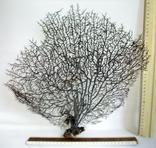 Чёрный коралл ветка 38 х 42 см из Индийского океана. 4., фото №2
