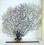 Чёрный коралл ветка 38 х 40 см из Индийского океана. 5., фото №3
