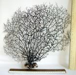 Чёрный коралл ветка 38 х 40 см из Индийского океана. 5., фото №2