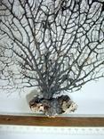 Чёрный коралл ветка 38 х 40 см из Индийского океана. 5., фото №5