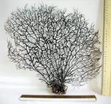 Чёрный коралл ветка 38 х 40 см из Индийского океана. 5., фото №7