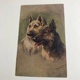 Ленинградский областлит собаки, фото №2