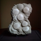 Окаменелые морские ежи Scutella paulensis Олигоценовый период (23 млн лет) Бордо Франция