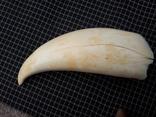 Зуб кашалота 260 грамм . Китабой . photo 4