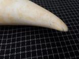Зуб кашалота 260 грамм . Китабой . photo 8