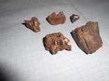 Древние зубы жывотных, фото №4
