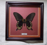 Бабочка в рамке. Papilio deiphobus. Таиланд.