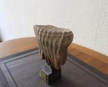 Зуб Мамонта Украина поздний Плейстоцен (100 тыс лет) вес 1 кг