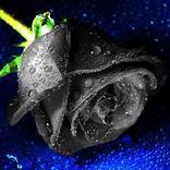 Семена чёрной розы 50 шт.