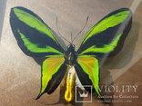 Бабочка в рамке. Papilio paradisea. о. Новая Гвинея.