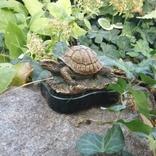 Черепаха-бронза ( Turtle bronze )