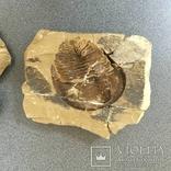 Парный трилобит (одно ископаемое)., фото №3