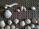 Ракушки морские, много, фото №5